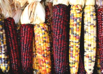 Corn: Ingredients Nutrition and Health Benefits